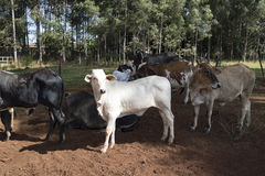 Cattle - Group of cows on farm. In Brazil, several races stock photography