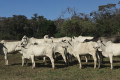 Cattle - Group of cows on farm. In Brazil, several races stock image