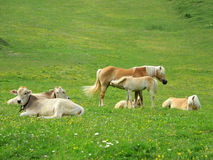 Cattle and Haflinger horses Stock Photo