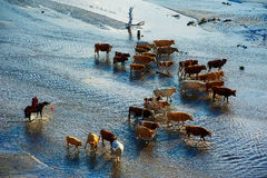 The cattle and harder in river Royalty Free Stock Images