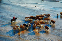 The cattle and harder in river sunset. The photo was taken in Huamugou national forest park Hexigten banner Chifeng city Nei Monggol Autonomous Region, China Stock Photos