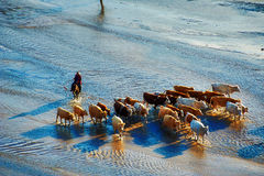 The cattle and harder in riverway sunset. The photo was taken in Huamugou national forest park Hexigten banner Chifeng city Nei Monggol Autonomous Region, China Stock Image