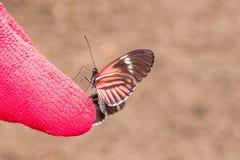 Cattle Heart Swallowtail Butterfly stock photo
