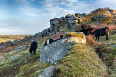 Cattle at Helman Tor Royalty Free Stock Photography