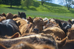 Cattle herd Royalty Free Stock Photography