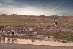Cattle herd Stock Images