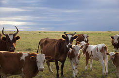 Cattle herd royalty free stock photo