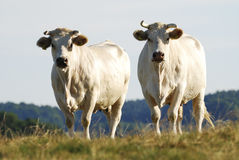 Cattle Herd Stock Photo