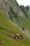 Cattle herd in the Alps Royalty Free Stock Photos