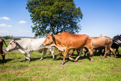 Cattle Herd Animals Stock Photography