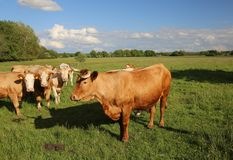 Cattle Herd Stock Image