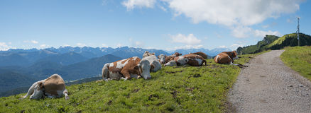 Cattle herd beside hiking trail in the bavarian alps Royalty Free Stock Images