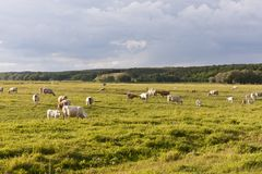 Cattle herd on a meadow Royalty Free Stock Photography