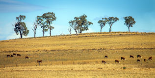 Cattle herd near Dubbo Australia Royalty Free Stock Photos