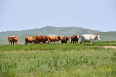 Free Cattle Herd On The Prairie Royalty Free Stock Images - 59417549