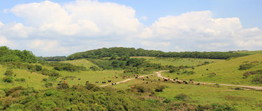 Cattle herd in the purbeck hills Stock Image