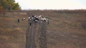 Cattle herd and shepherd walk on hill, aerial view. stock video
