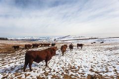 Cattle Herd Snow Mountains Royalty Free Stock Image