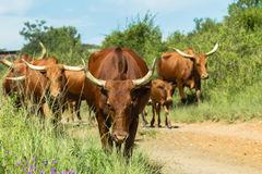 Cattle Herd Walking Stock Photography