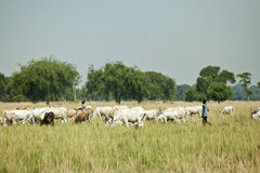 Cattle herders, Lilir Sudan Royalty Free Stock Image