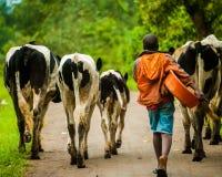 Cattle Herding near Fort Portal, Uganda stock photos
