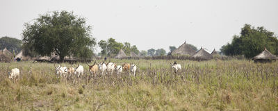 Cattle herding in sudan Stock Images