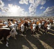 cattle hereford Royaltyfri Foto