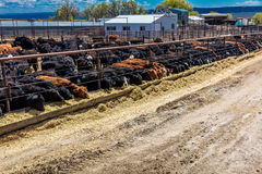 Cattle - Hereford eating hay in cattle feedlot, La Salle, Utah Royalty Free Stock Photography