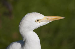 Cattle Heron Portrait Royalty Free Stock Photography