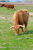 Scottish Highland Cattle Royalty Free Stock Image