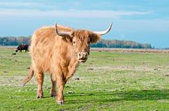 Scottish Highland Cattle royalty free stock photos