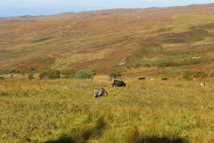 Cattle in the highlands Stock Image