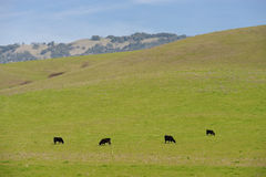 Cattle on a hill Royalty Free Stock Images