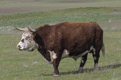 Cattle with Horns Full Body Portrait Royalty Free Stock Photo