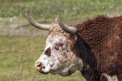 Cattle with Horns Side Portrait Royalty Free Stock Images