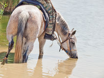 Cattle horse with rider in water Stock Photography