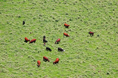 Cattle and Horses Royalty Free Stock Photography