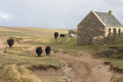 Cattle and house in Scotland Stock Image