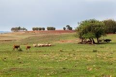 Cattle In Rio Grande Do Sul Brazil Stock Image