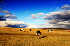 Cattle In The Grassland. Royalty Free Stock Photo