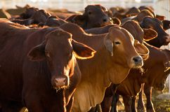 Free Cattle In Yards Stock Image - 4153731