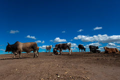 Cattle Industrial Conflict. Cattle herd on ex farm land wandering on broken up soil with no grass which is now a building infrastructure KZ Natal South Africa Stock Images