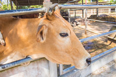 Cattle inside the zoo. Stock Photos