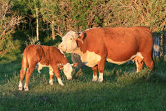 Cattle Interaction Stock Photo
