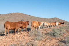 Cattle in the Karoo. Cattle walking in a row near Britstown in the arid Karoo region of South Africa Royalty Free Stock Image