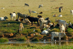 Cattle and lake. A cattle and lake in the farm royalty free stock photography