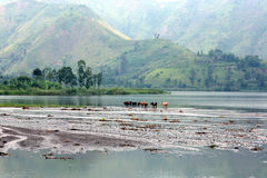 Cattle at Lake Kivu Royalty Free Stock Photos