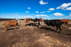 Cattle Land Construction Conflict Stock Image