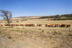 Cattle Landscape Stock Photos