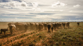 Cattle landscape. Gathering the cattle for mustering season in Western Australia Royalty Free Stock Image